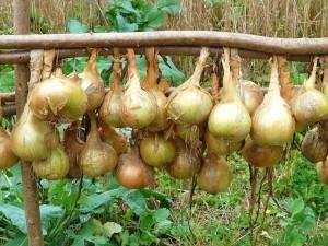 onions-61262_960_720